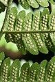 Dryopteris goldiana CR-0956.jpg
