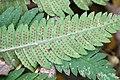 Dryopteris goldiana SCA-3233.jpg