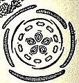 EB1911 Sedum acre diagram.jpg