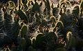 Early Morning cactus (8999929076).jpg