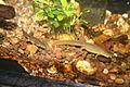 Eastern Newt (Notophthalmus viridescens) (3148920313).jpg