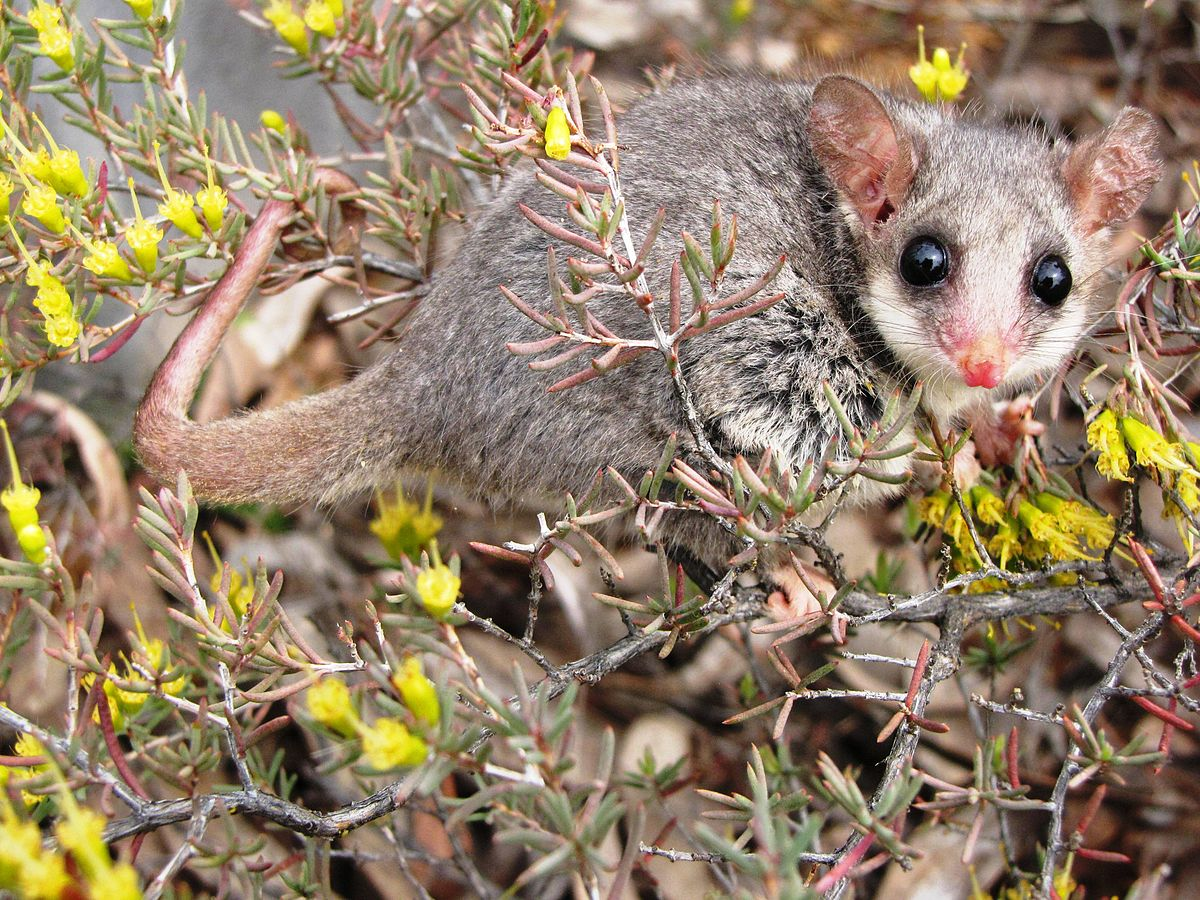 Mountain Pygmy Possum Food Chain