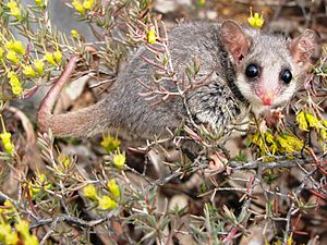 Eastern pygmy possum - Eastern Pygmy Possum in Pilliga forest, NSW.