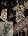 Eastern Screech owl & Western Screech From The Crossley ID Guide Eastern Birds.jpg