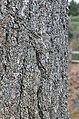Eastern White Pine Pinus strobus Bark Vertical.JPG