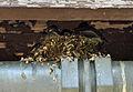 Eastern phoebe nest.JPG