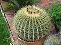Echinocactus grusonii4.jpg
