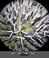 Echinops sphaerocephalus sl29.jpg