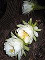 Echinopsis schickendantzii (1).jpg