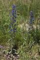 Echium vulgare bethisy-saint-martin 60 18062008 1.jpg
