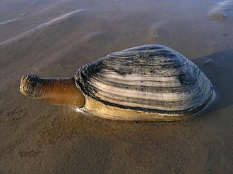 Soft-shell clam - Image: Ecomare strandgaper (4792 mya strandgaper mok ogb)