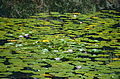 Egyptian Lotus (Nymphaea caerulea) (9641654323).jpg