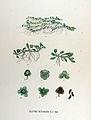 Elatine hexandra — Flora Batava — Volume v17.jpg