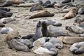 Elephant Seals (28595472483).jpg
