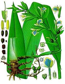 Elettaria cardamomum - Köhler-s Medizinal-Pflanzen-057.jpg