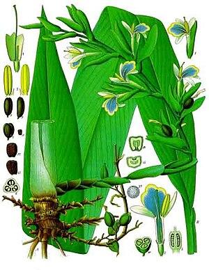 Kardamom (Elettaria cardamomum) Illustration aus Koehler 1887