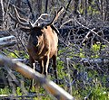 Elk in the Woods (14655826048).jpg