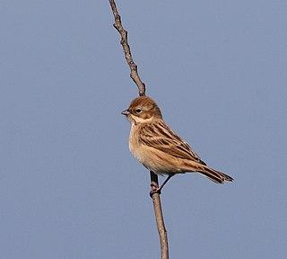 Pallass reed bunting species of bird