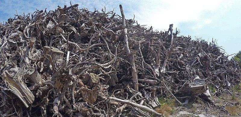 File:Empilement de souches de pins après désouchage d'une coupe rase 2018 Landes de Gascogne 05.jpg