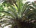 Encephalartosarenarius.jpg