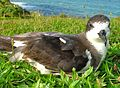 Endangered Hawaiian petrel. Photo credit- Brenda Zaun-USFWS (22561099210).jpg