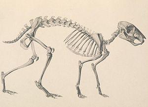 Eocardia - Skeletal restoration