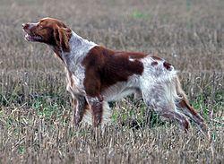 Brittany Spaniel Breeds of Gun Dogs