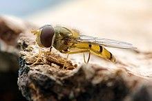 Uma mosca-das-flores da espécie Episyrphus balteatus.