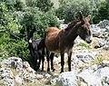 Equus asinus.jpg
