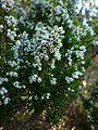 Erica arborea 50115s 02.jpg