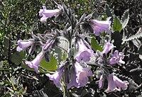 Eriodictyoncrassifolium1.jpg