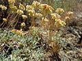 Eriogonum caespitosum (5036269017).jpg