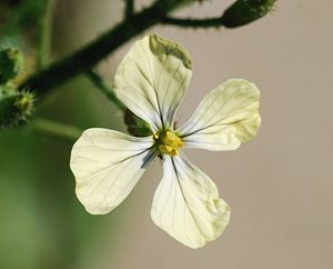 Eruca sativa - Flower of Eruca sativa