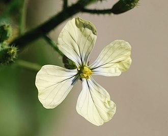 Eruca sativa - Flower of Eruca sativa