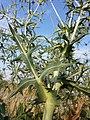 Eryngium campestre sl23.jpg