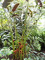 Etlingera fulgens - Palmengarten Frankfurt - DSC01840.JPG