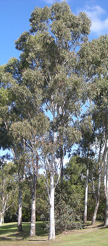 Eucalyptus Tereticornis Wikipedia