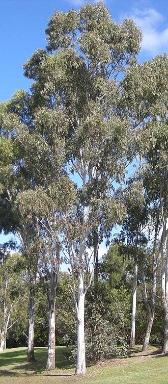 Eucalyptus tereticornis - E. tereticornis trees