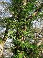Euonymus fortunei 4.JPG