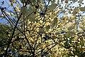 Euonymus latifolius kz1.jpg