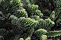 Euphorbia Echinus Cristata in Jardin de Cactus on Lanzarote, June 2013 (3).jpg