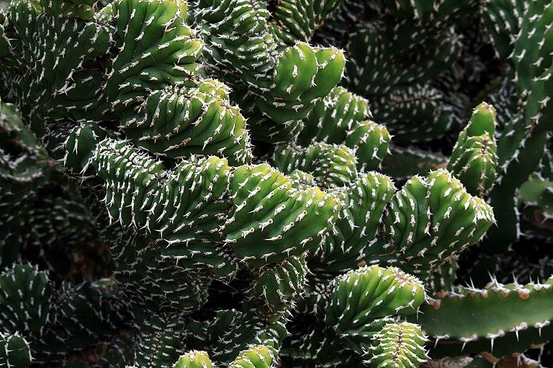 File euphorbia echinus cristata in jardin de cactus on for Jardin de cactus lanzarote