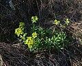 Euphorbia altaica 38243664.jpg