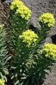 Euphorbia jolkinii.jpg