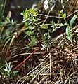 Euphorbia saxatilis 1.jpg