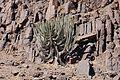 Euphorbia virosa-Damaraland.jpg