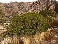 Evergreen-Sumac-c (4487584824).jpg