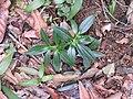 Exacum courtallense-2-chemungi hill-kerala-India.jpg