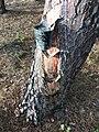 Explotación de resina en el pinar de Peñausende 4.jpg