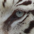 Eye of white tiger - Werifesteria.jpg